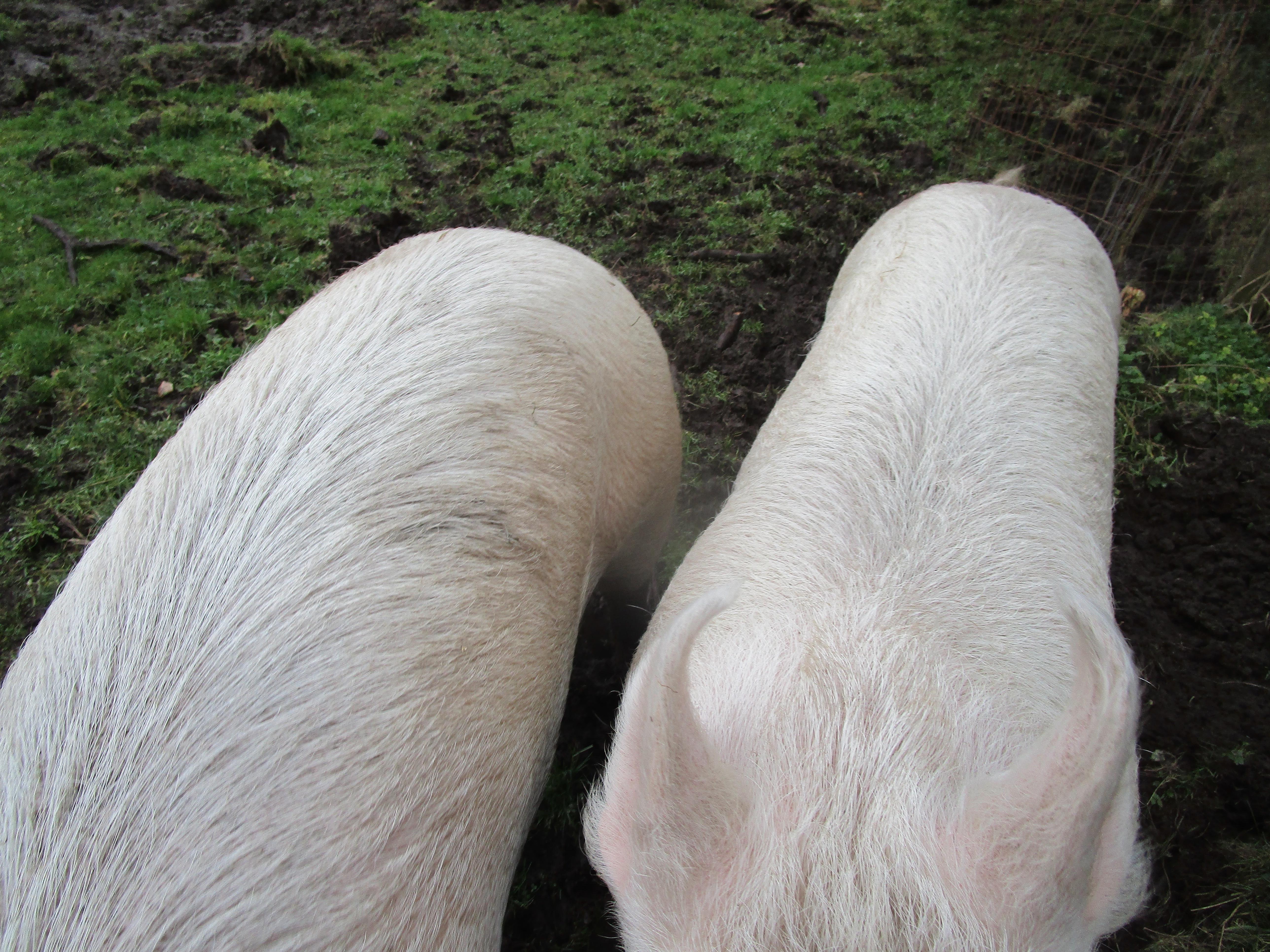 pig petting