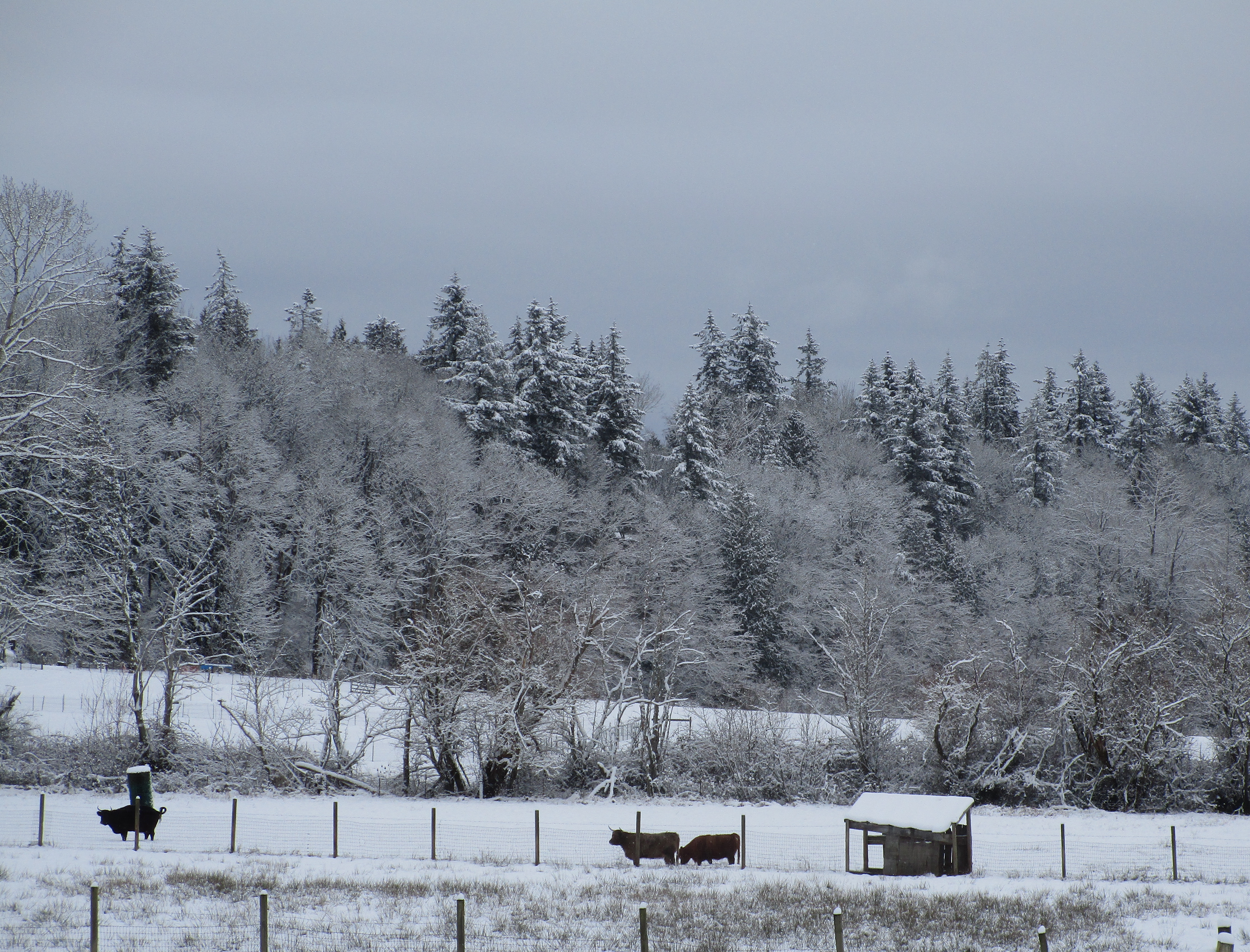 cows and snowy trees