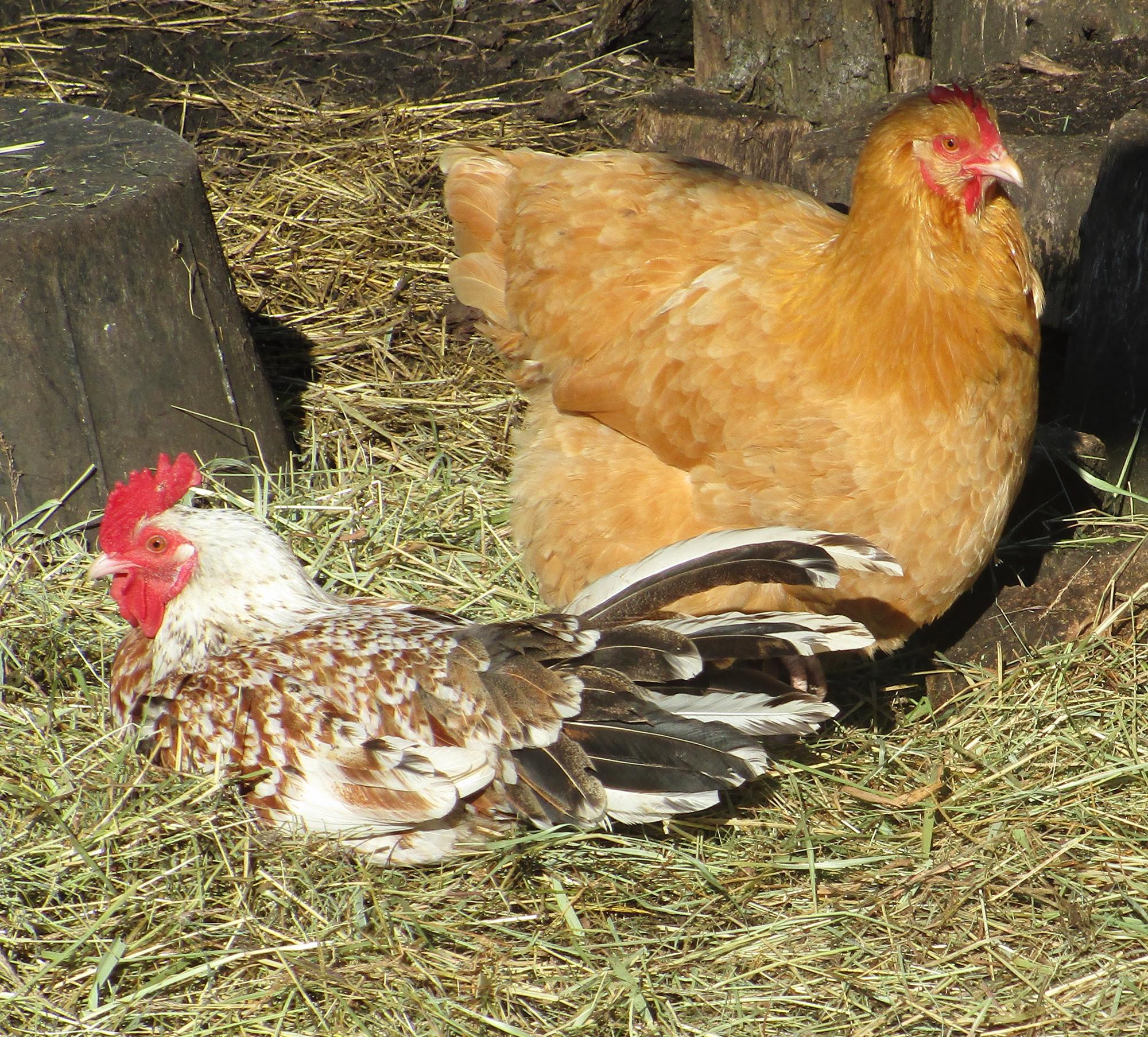 little man and rasa buff hen 040920