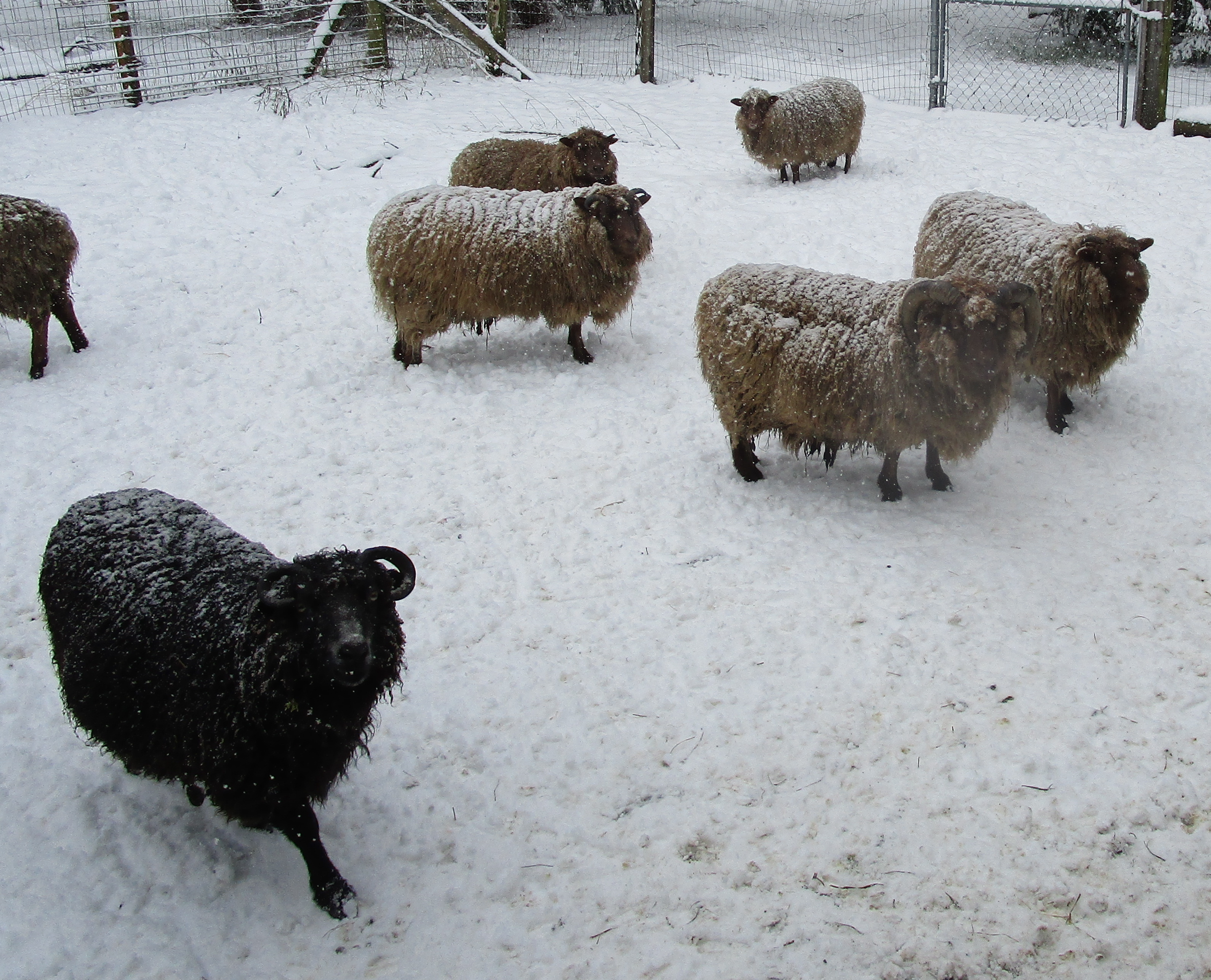 sheep proving the insulating quality of wool