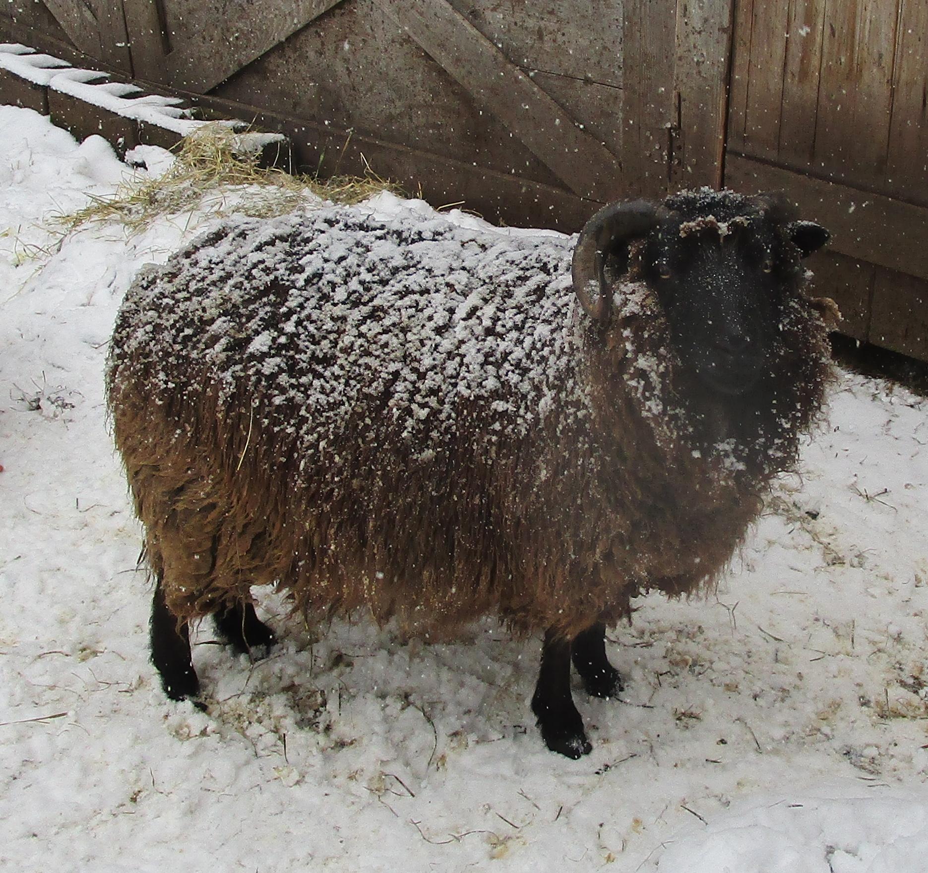snowy Hodor
