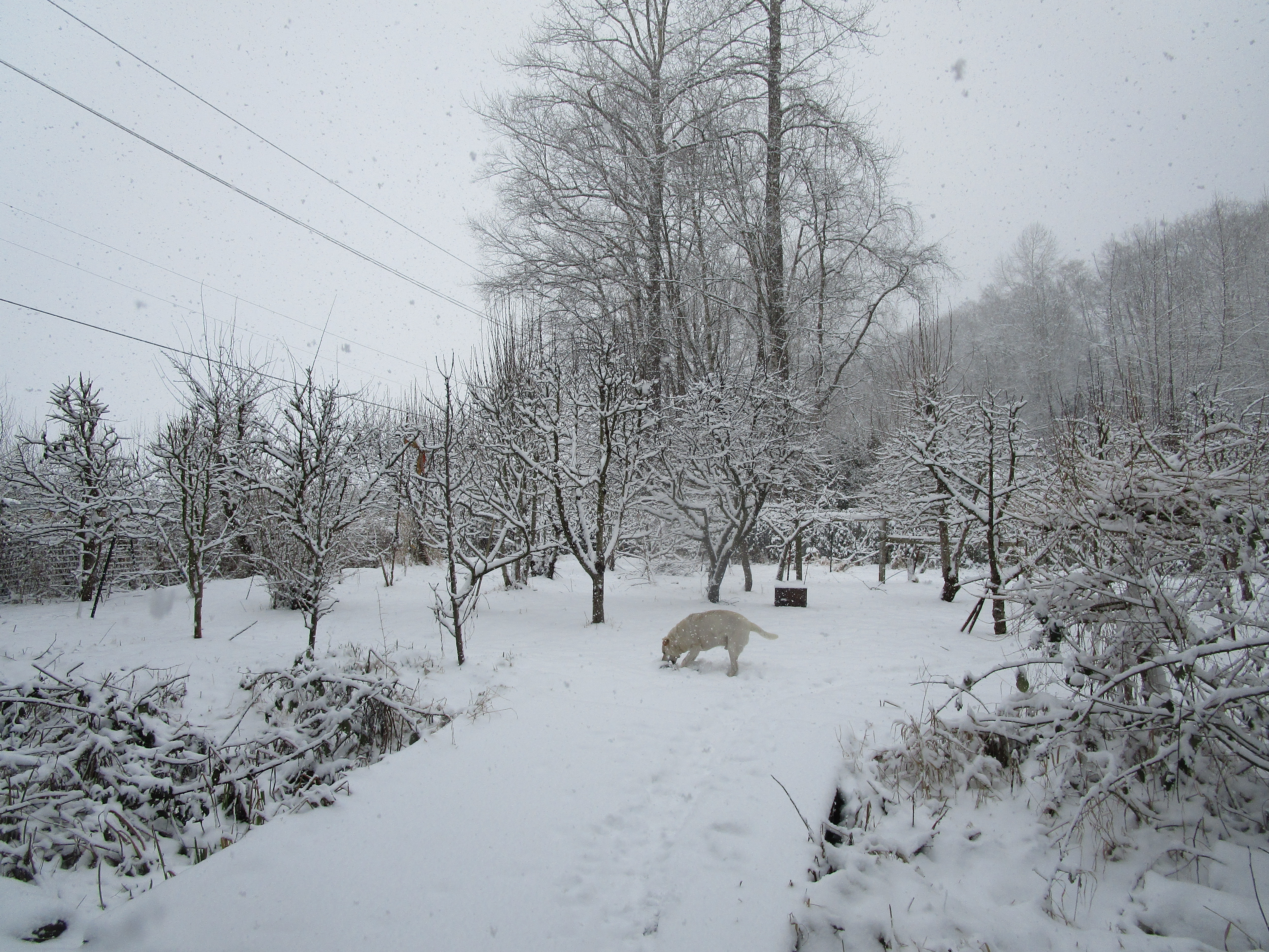 snowy orchard with Steve