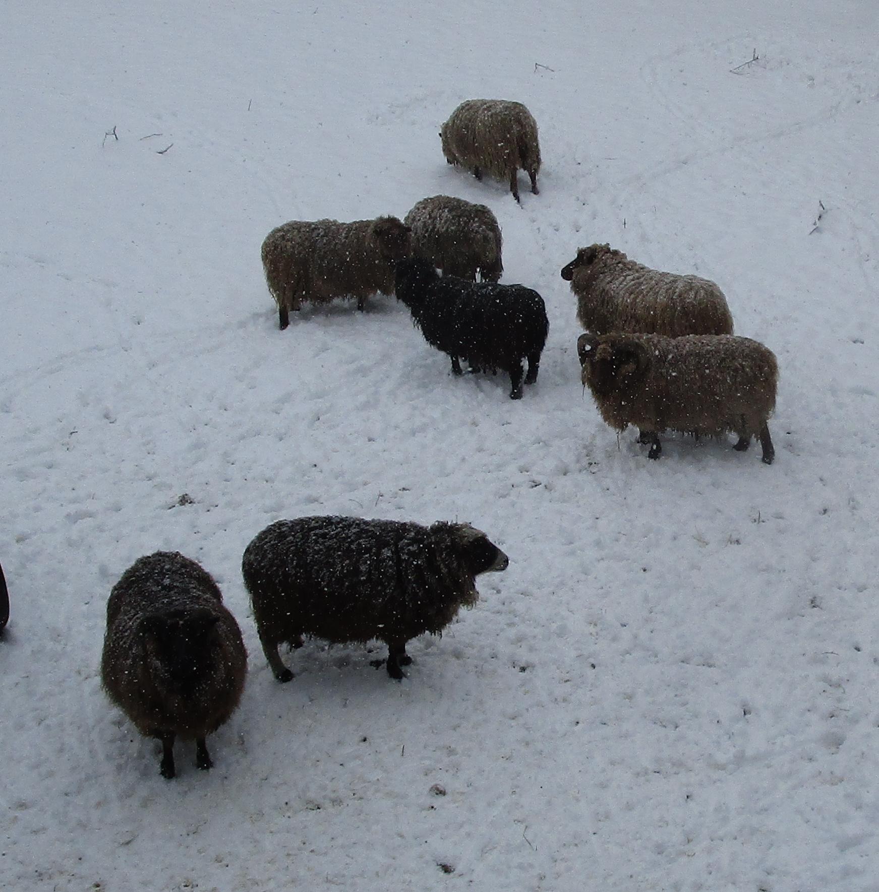 snowy sheep from hay loft