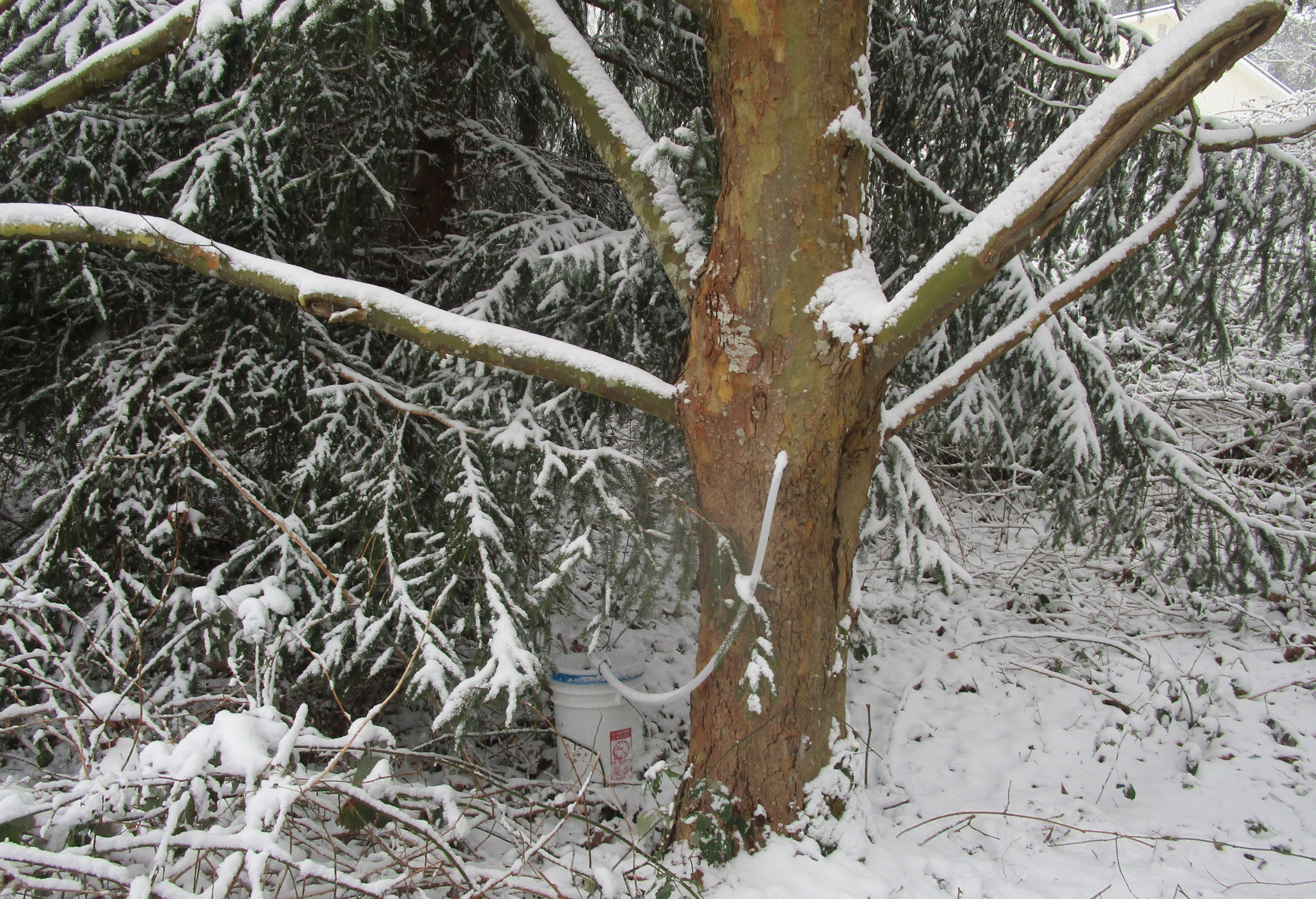 snowy tapped maple tree