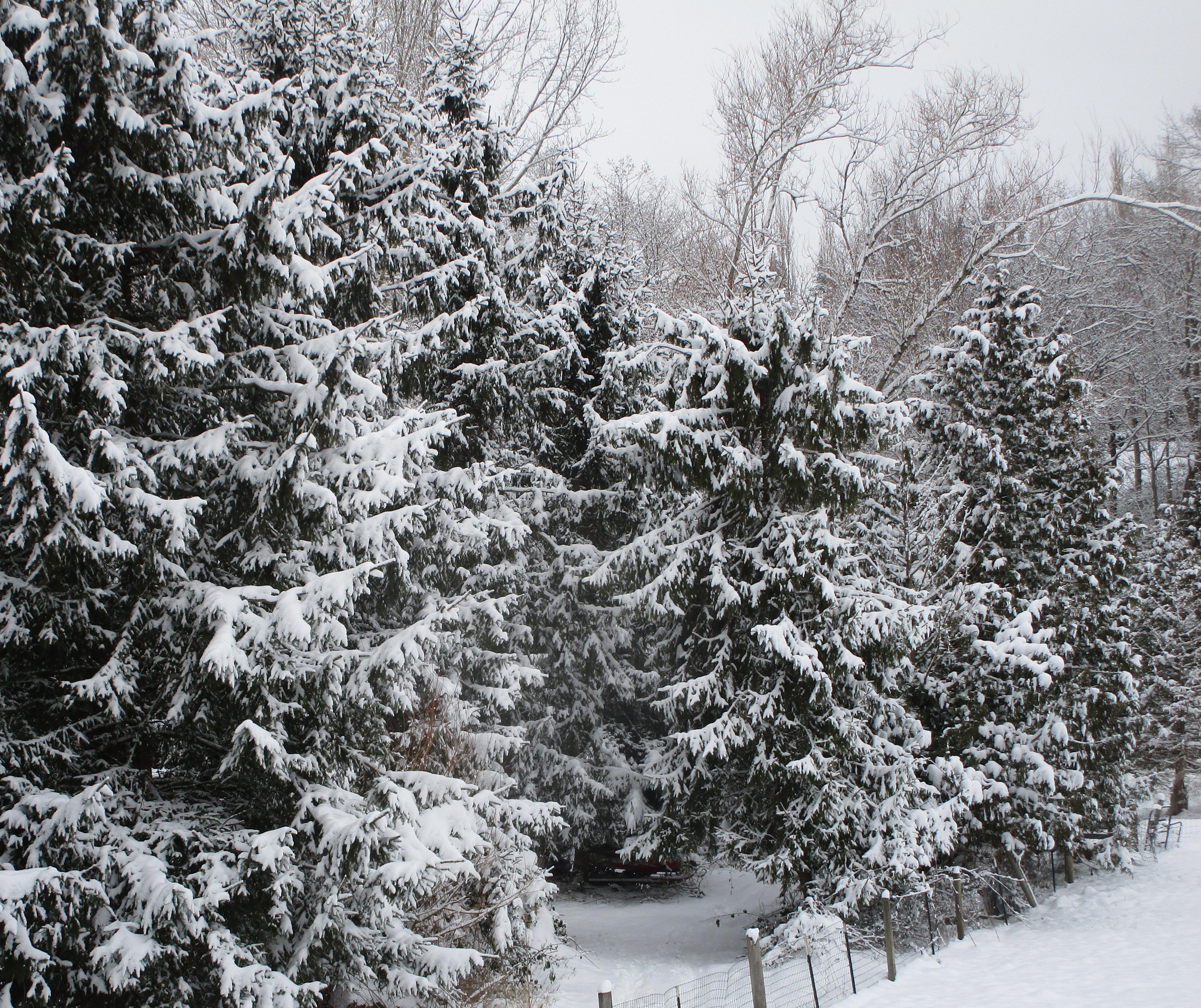 snowy trees beside donkey pen