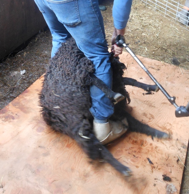 Diddley being sheared