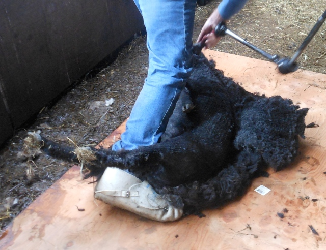 Diddley being sheared2