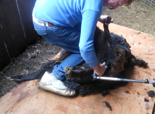 Hodor being sheared2