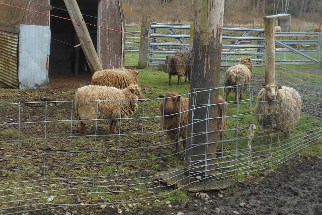 old sheep not being sheared