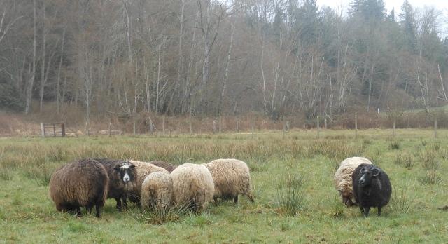 rotated sheep