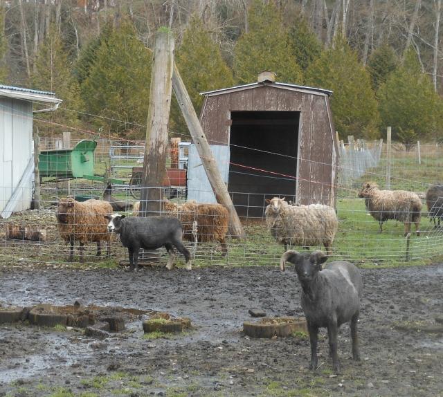 sheared and unsheared sheep