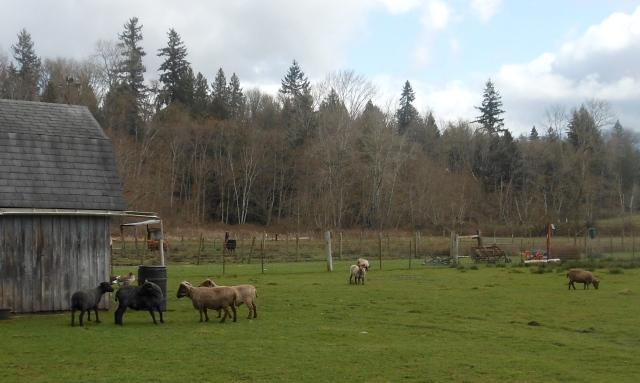 sheared sheep on grass