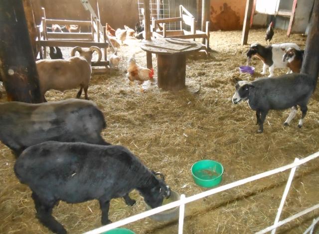 soem sheared sheep in barn