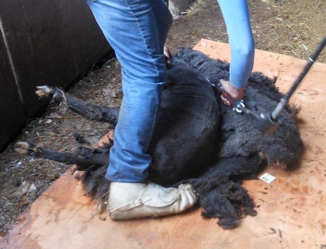 Walda being sheared2