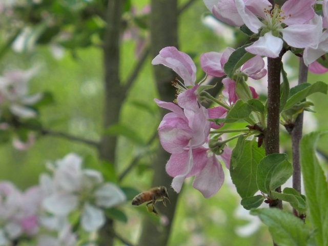 bee flying neat apple blossom