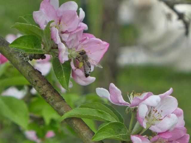 bee on apple blossom1