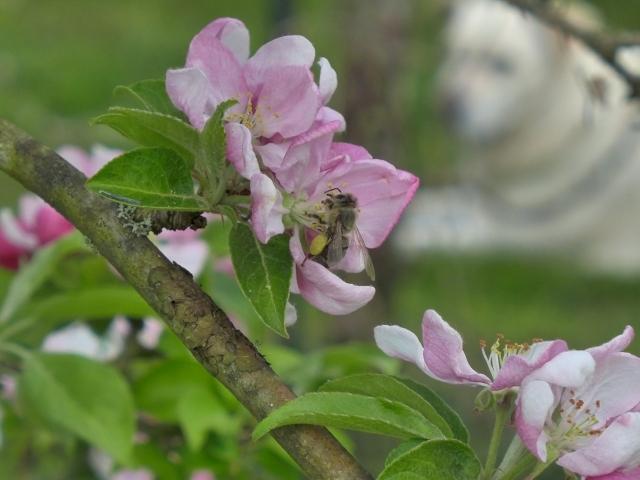 bee on apple blossom2