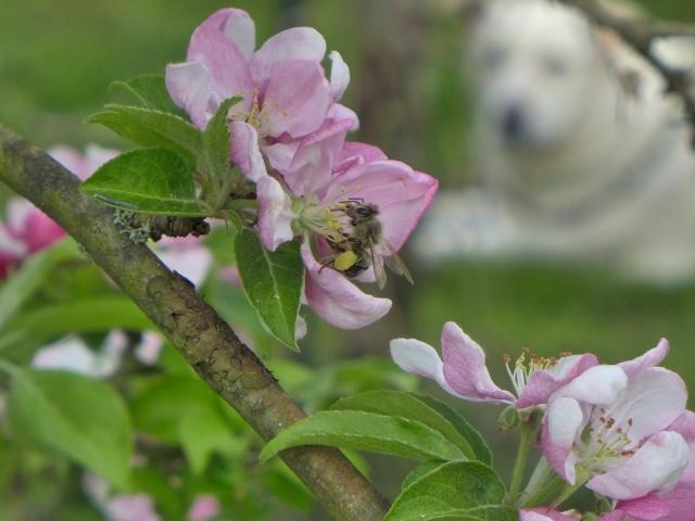 bee on apple blossom3