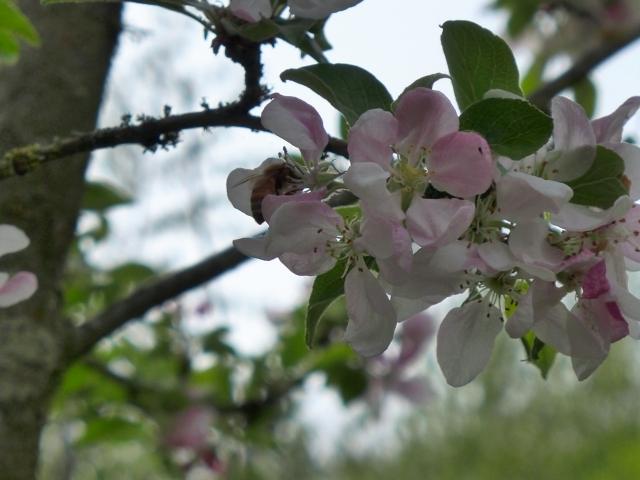 bee on apple blossom4