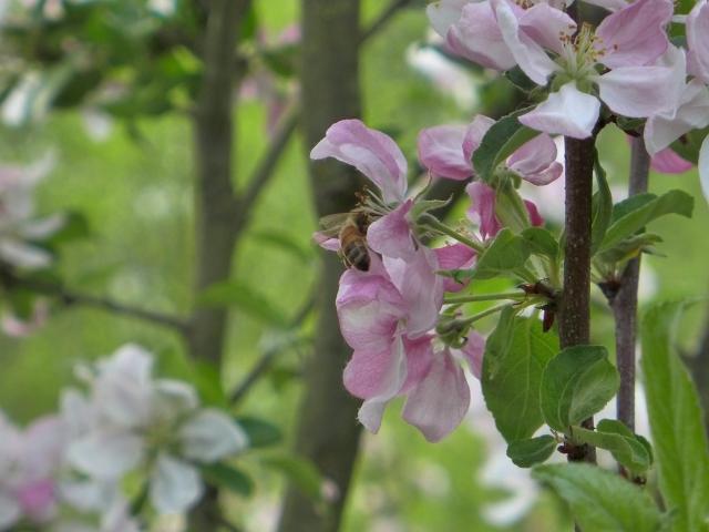 bee on apple blossom5