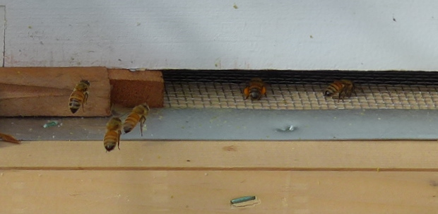 bees coming into hive