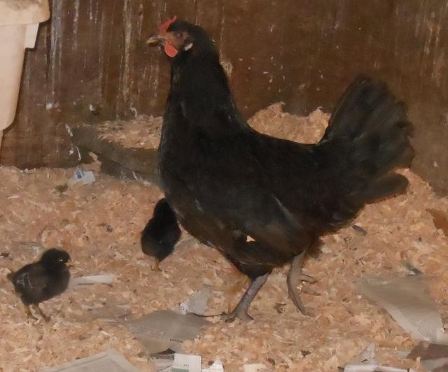black chicks