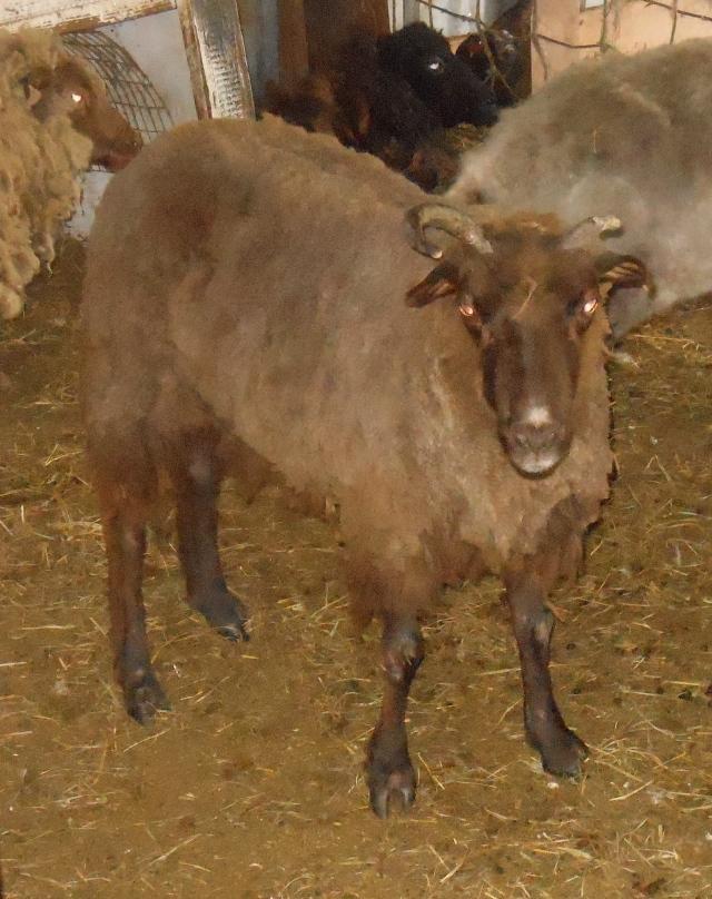 Hazelnut post shear