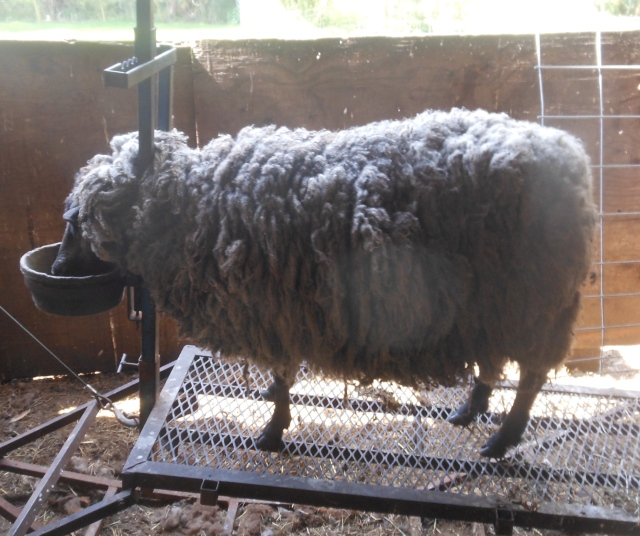 Jewel pre sheared