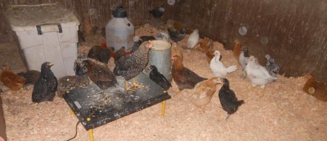 chicks on clean shavings