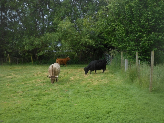 cows on grass