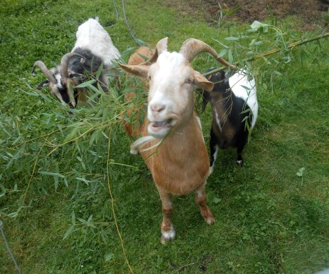 goats eating bamboo