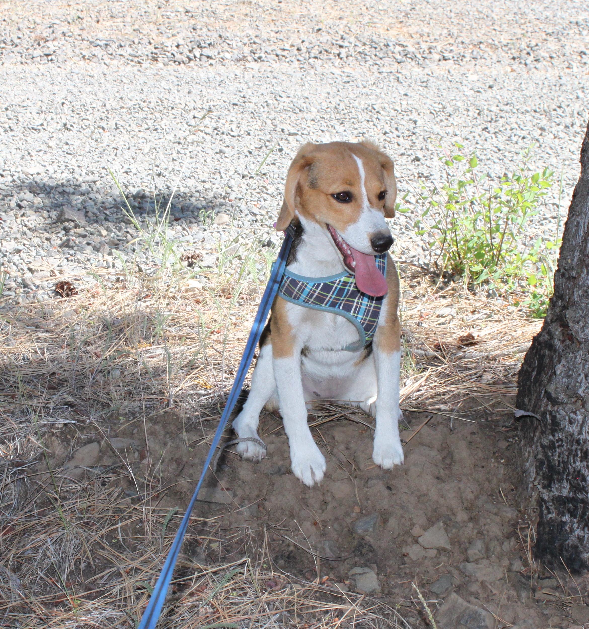 hot beagle