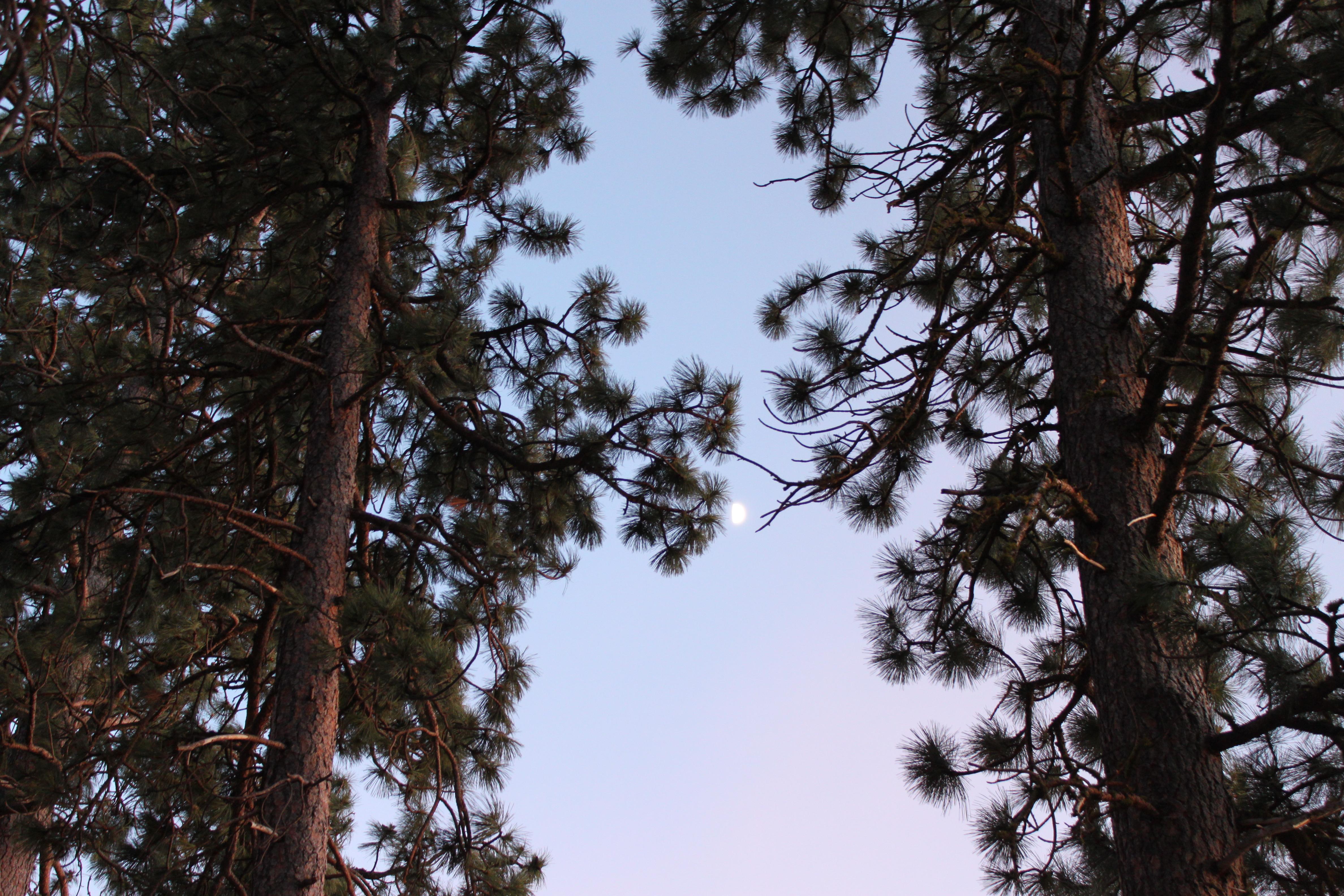 moon between pine trees