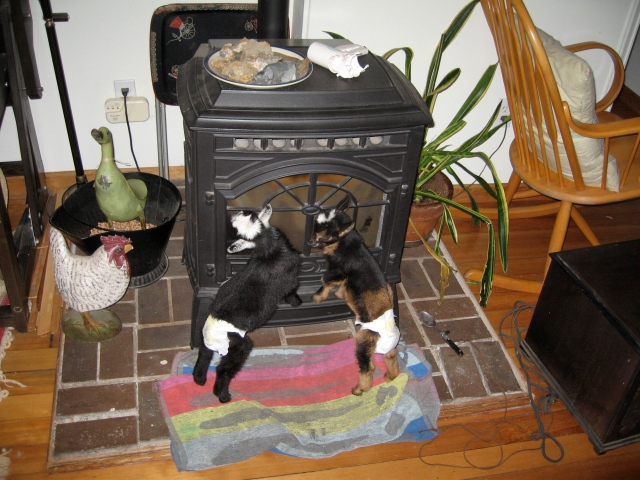 peewee shorty goats stove 0409