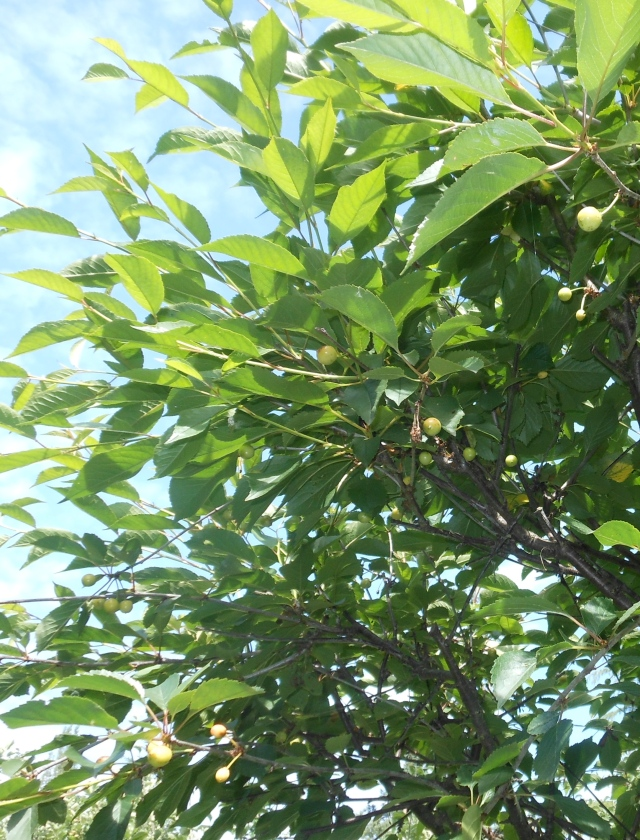 pie cherries
