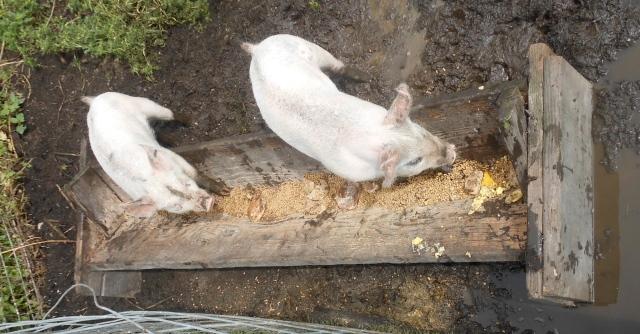 pigs new trough