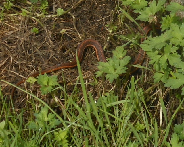red racer tail