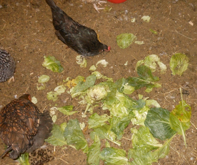 chickens like cabbage