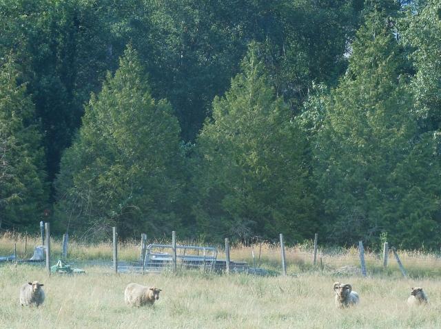 sheep blending into pasture