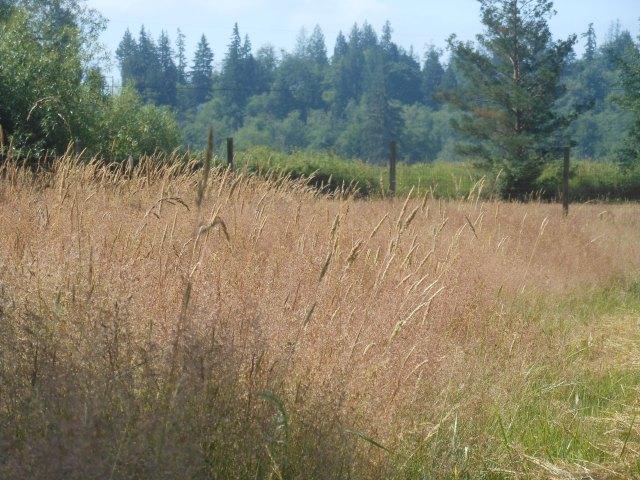 unharvested grass