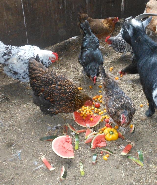 chcikens enjoying leftover produce