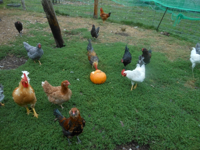 chicks and pumpkin
