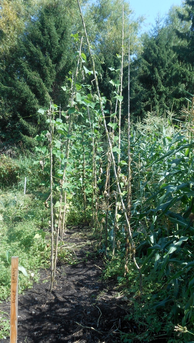 dying pole beans