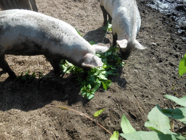 parsnip tops and pigs