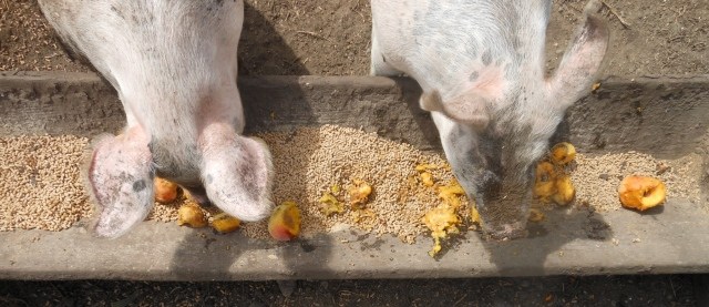peaches and pigs
