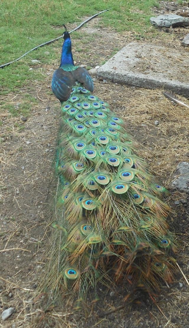 peacock back