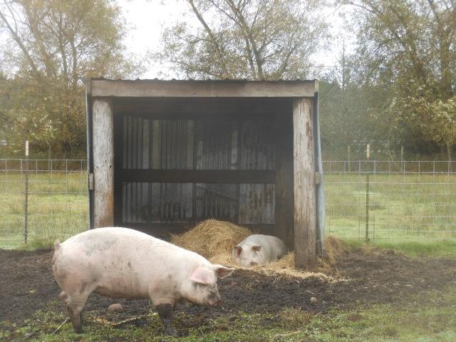 New pig bedding